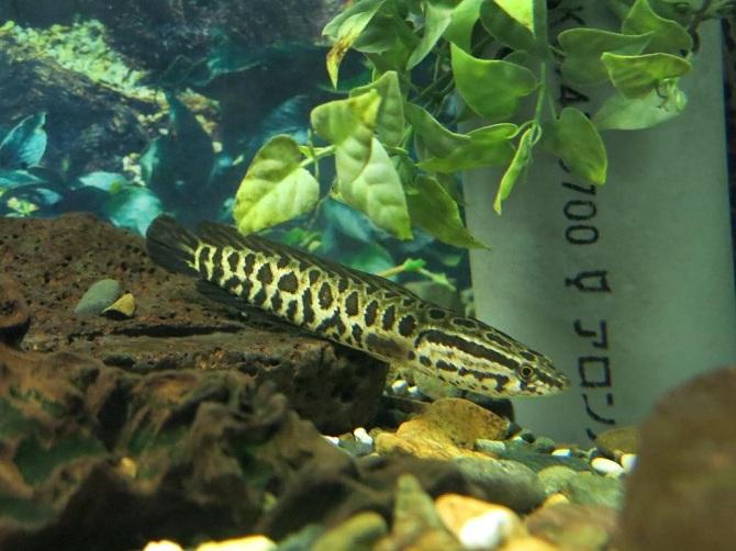 обыкновенный или амурский змееголов Channa argus
