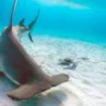 Самые опасные акулы-молоты