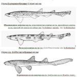 Сколько кошачьих акул в мировом океане?