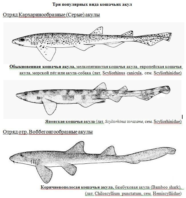 кошачьи акулы
