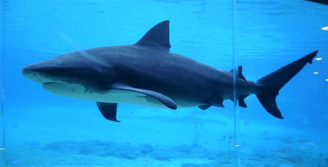 тупорылая акула (бычья акула)