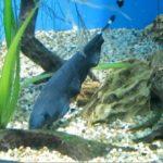Эффектная черная рыба нож – аптеронотус