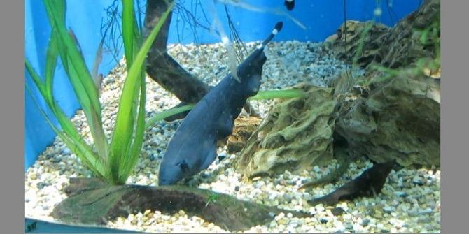рыба нож (аптеронотус белокаймовый)
