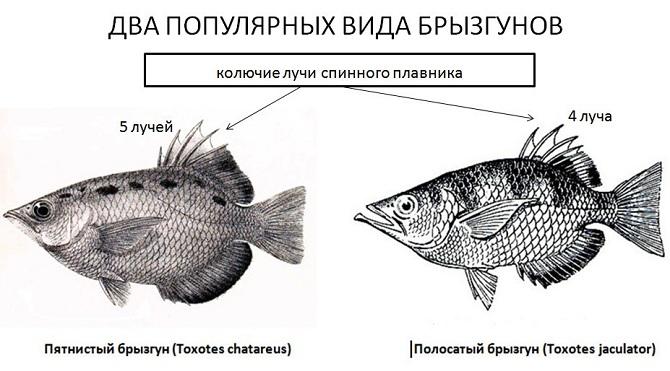 рыба брызгун
