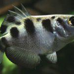 Почему рыба-брызгун стреляет в наземных насекомых?