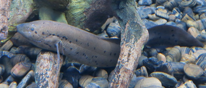 рыба протоптер