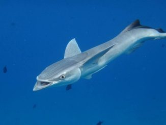 interesting-remora-photo