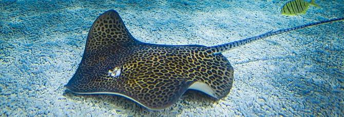 леопардовый скат- хвостокол