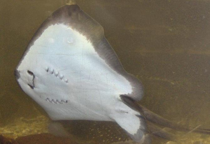 скат обыкновенный хвостокол или морской кот