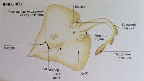 ryba-skat-3