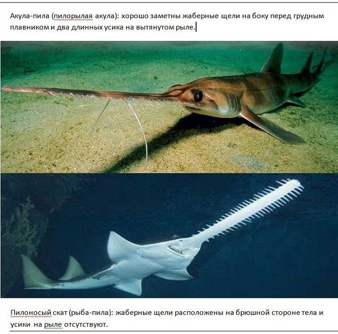 акула пила и рыба пила