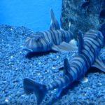 Зебровидная бычья акула из отряда разнозубообразных