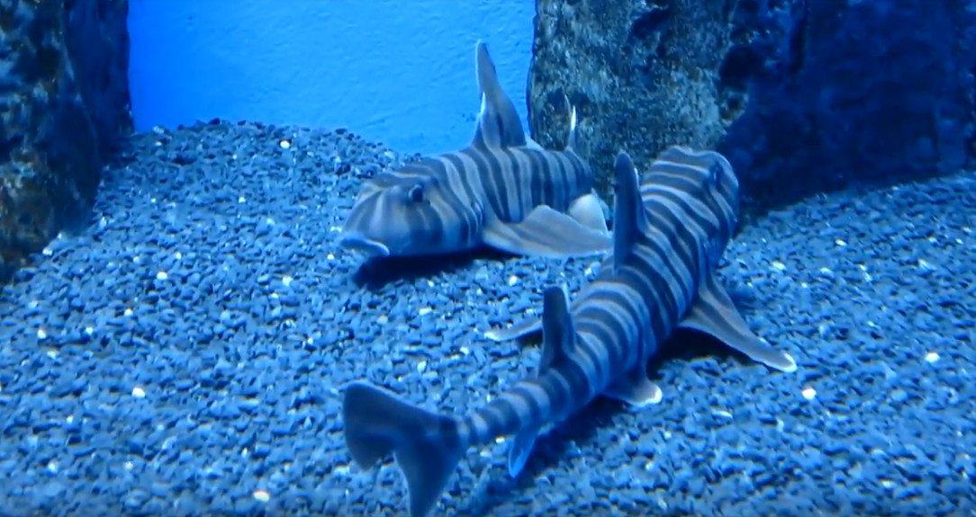зебровидная бычья акула