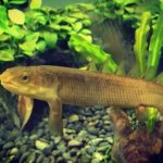 Полиптерус сенегальский – древняя рыба из Африканских водоёмов, похожая на китайского дракончика