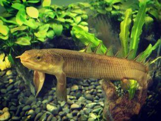 polipterus-senegalskij-1