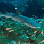 Рифовая акула (белопёрая)