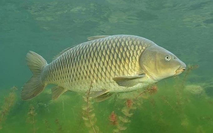 ryba sazan 1