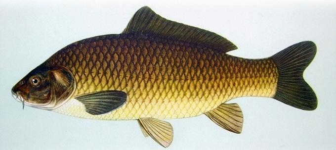 ryba sazan 3