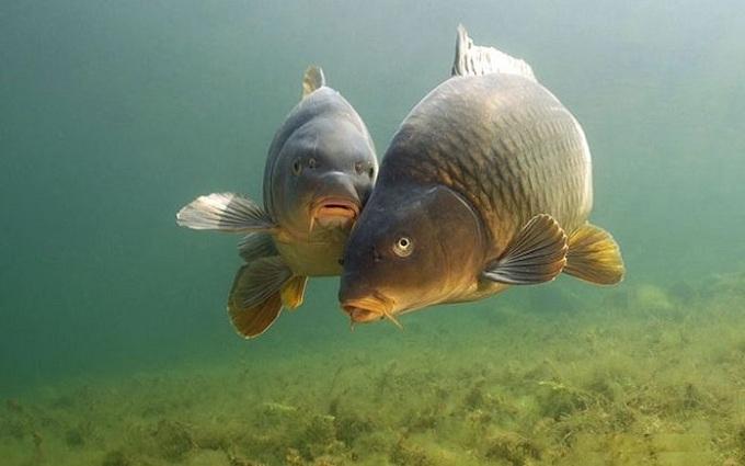 ryba sazan 4
