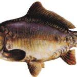 Рыба карп выведена из дикого сазана