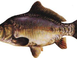 рыба карп 5