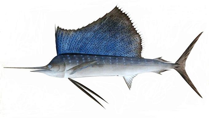 рыба парусник 1