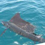 Рыба – парусник является самой скоростной из всех рыб