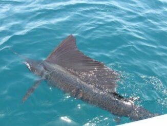 рыба парусник  2