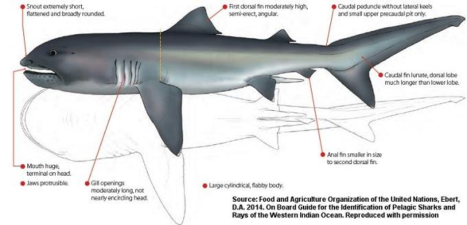 большеротая акула 3