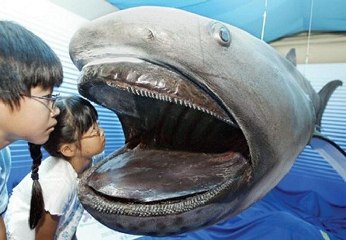 большеротая акула 4