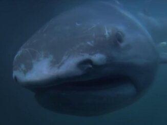 большеротая акула 5