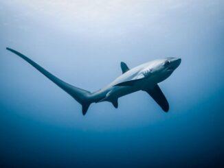 лисья акула 1