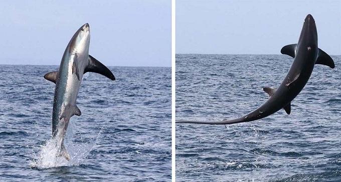 Выпрыгнувшая из воды лисья акула.