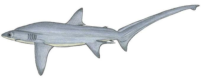 Глубоководная лисья акула (большеглазая).