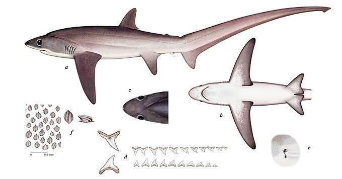 Пелагическая лисья акула.