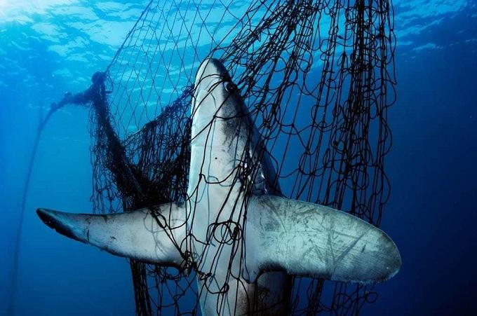 Попавшая в браконьерскую сеть лисья акула.