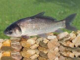 рыба буффало 3