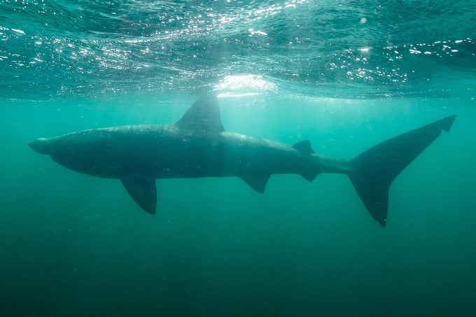 гигантская акула 1