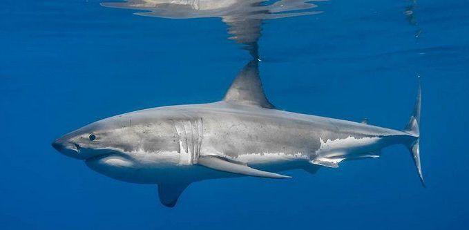 большая белая акула 2
