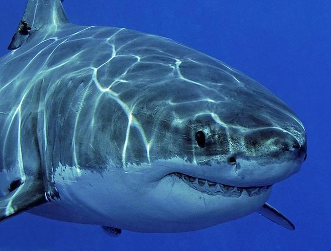 большая белая акула 6