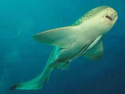 зебровая акула 4