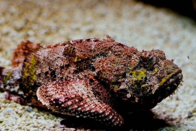 рыба камень 1