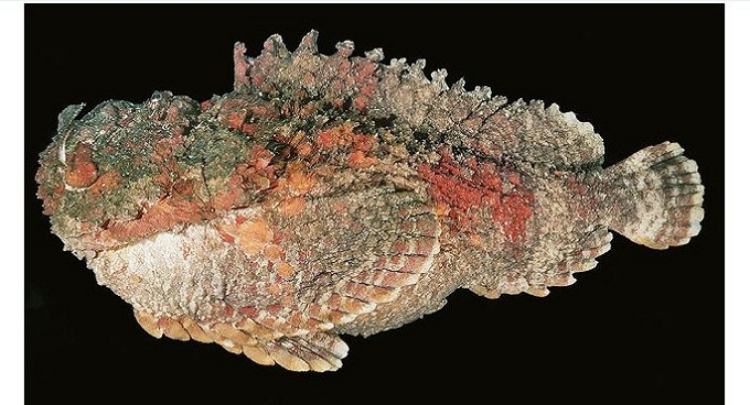 рыба камень 2