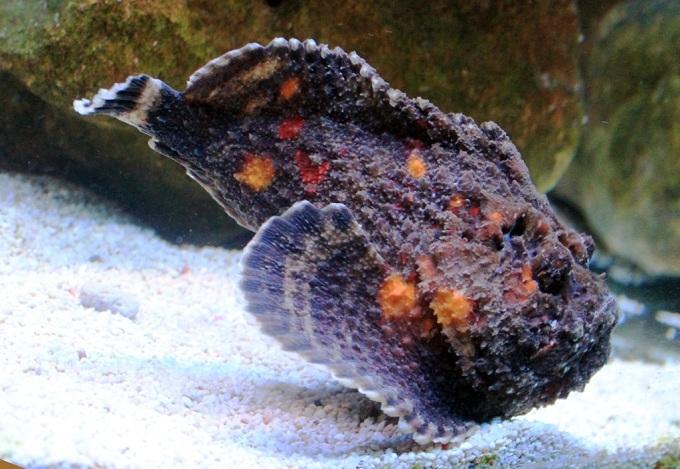рыба камень 4
