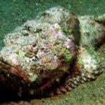 Рыба-камень ядовита и ужасна на вид