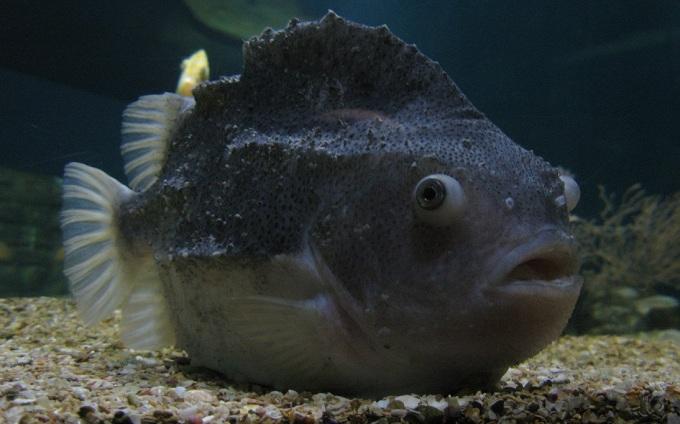 рыба пинагор 1