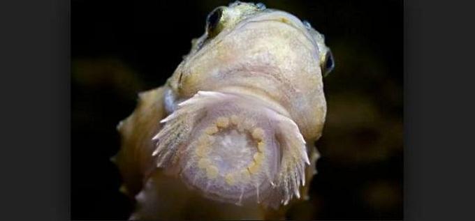рыба пинагор 2