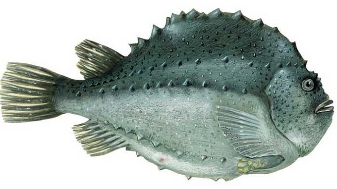 рыба пинагор 3