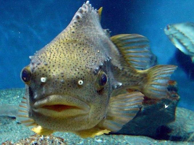 рыба пинагор 4