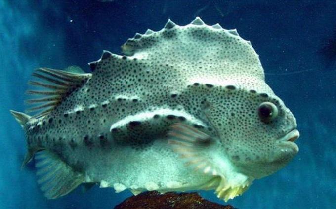 рыба пинагор 5